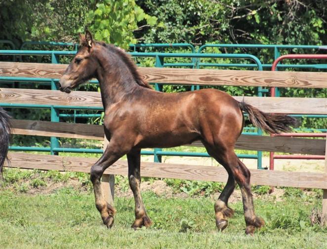 kalispel-stallion_01